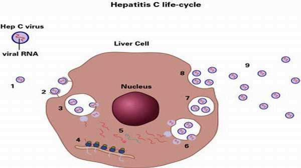 Hepatitis C: Symptoms