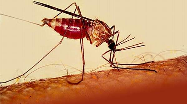 Picture of Malaria