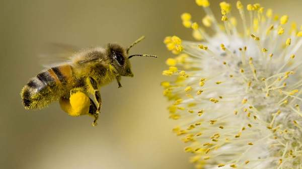 picture of pollen bee