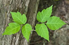 Poison ivy: Causes, Prevention & Treatments